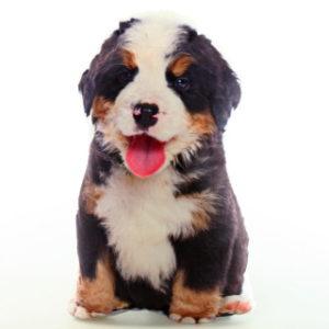 Polštářek fotopotisk salašnický pes